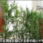 隣家様の玄関ドアを目隠しするマキの生垣-松戸市T様邸