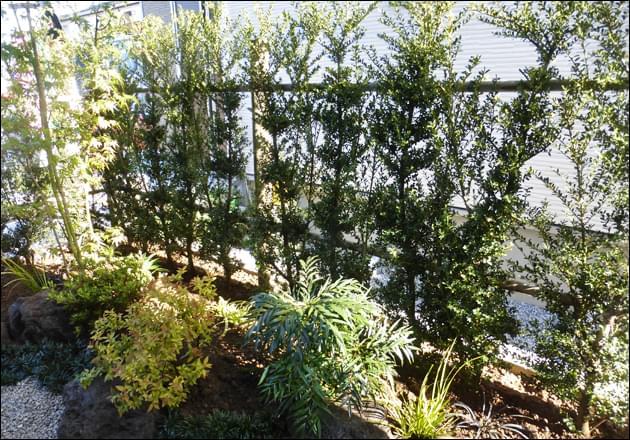 小さな和風の庭のスクリーンとしたキンメツゲの生垣