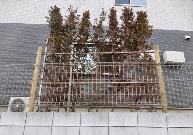 窓をピンポイントで目隠しする紅花トキワマンサクの生垣