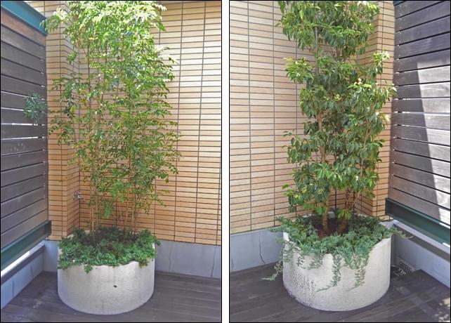 双方常緑樹であるシマトネリコとソヨゴ