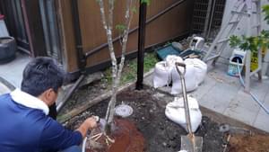 土壌改良をしながら植栽をするアオダモ