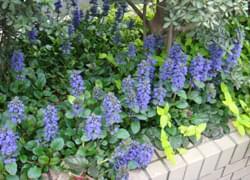 青花が美しいアジュガ
