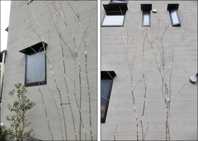シンボルツリーのアオダモ