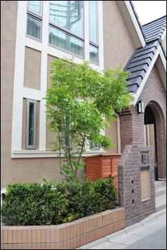 2階窓まで生育させる計画のシマトネリコ