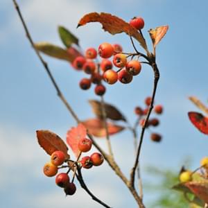 アロニアの特徴と育て方-赤実と黒実の違いは?美しい花や紅葉、雑木の風情を楽しもう