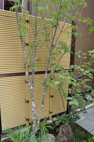 垣根を背にした、和庭のアオダモ