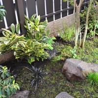 苔庭のアオキ