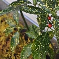 アオキの特徴と育て方-葉や実の魅力から、カラーリーフの品種まで解説します