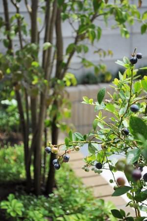 雑木とブルーベリー