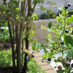 ブルーベリーの特徴と育て方・剪定方法-2つの系統の違いを知り、花や果実、紅葉も楽しもう