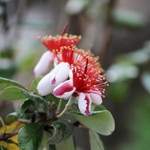 個性的なフェイジョアの花