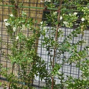 ギンバイカの花