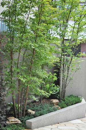 雑木林に見立てたヒメシャラの植栽
