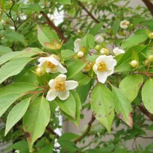 白く小さなヒメシャラの花