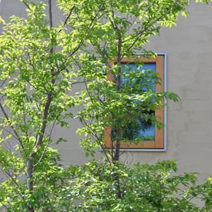 爽やかなヒメシャラの枝葉