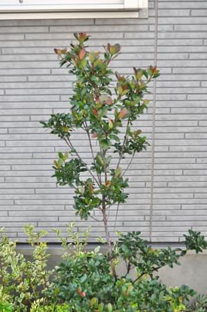 洋風の庭にも馴染むヒメシャリンバイ