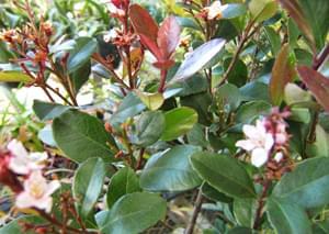ヒメシャリンバイの花