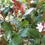 ヒメシャリンバイはどんな庭木?-花も楽しめる成長も緩やかな常緑低木を解説します