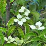 常緑ヤマボウシ(ホンコンエンシス)とは?-美しい葉や花の魅力、洋風シンボルツリーとしての植栽実例も解説します