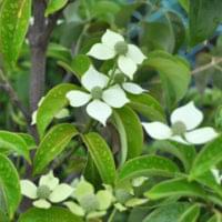 常緑ヤマボウシ(ホンコンエンシス)