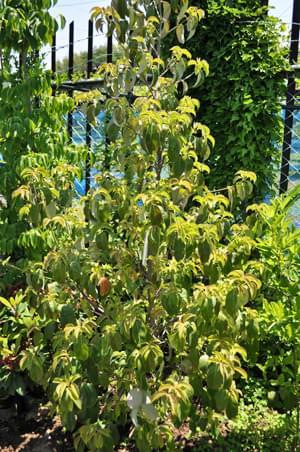 常緑ヤマボウシ(ホンコンエンシス)の枝