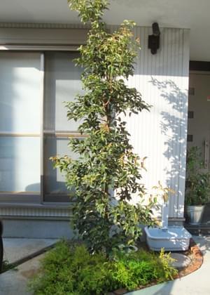 シンボルツリーとして植栽された常緑ヤマボウシ(ホンコンエンシス)
