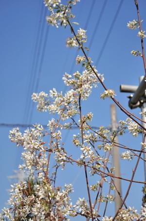 枝いっぱいに花を付ける様子