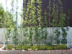生垣風に植栽したシラカシ