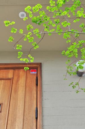 美しいコハウチワカエデの新緑