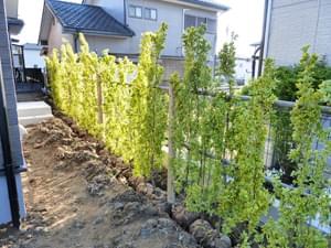 日陰に植栽したキンマサキ
