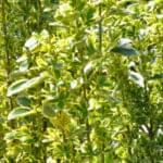 生垣におすすめなマサキの種類と魅力-日陰でも育つカラーリーフを庭へ取り入れてみよう