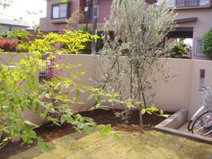 芝生ガーデンに植栽したオリーブ