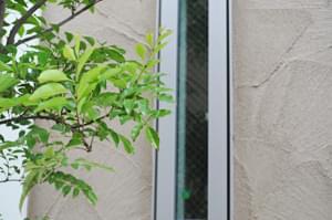 独特の雰囲気を持つシマトネリコの葉