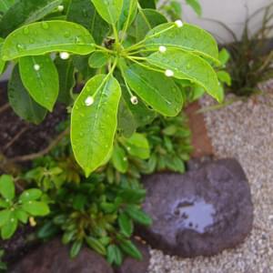 ソヨゴの花(雌木)