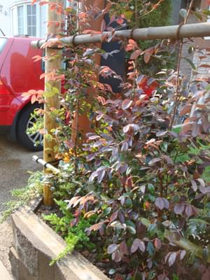 紅花トキワマンサクの葉色