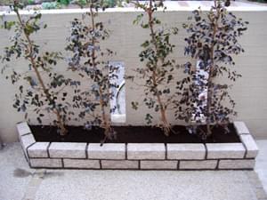 少し間を空けて植えたトキワマンサク