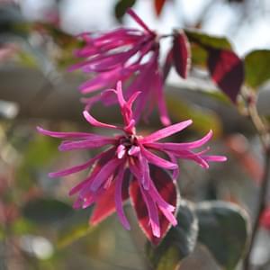 紅花トキワマンサクの花