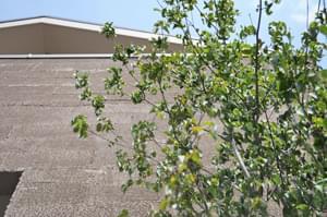 植栽直後のヤマボウシ