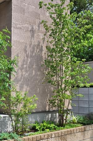 シンボルツリーとしてのヤマボウシ