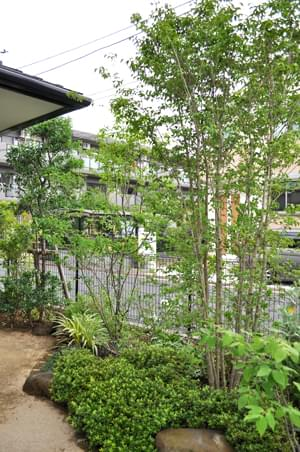 園路に植栽したヤマボウシ
