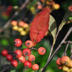 アロニアの紅葉