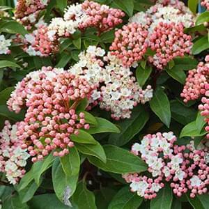 ビバーナム(常緑ガマズミ)の花