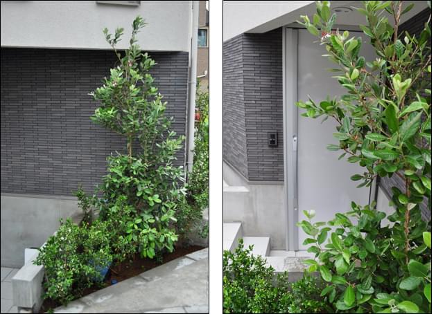 単独の植栽で玄関を目隠し