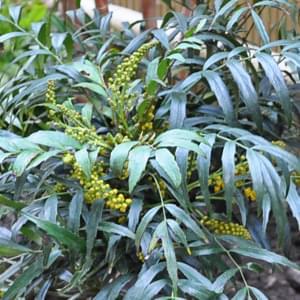 マホニアコンフューサの花