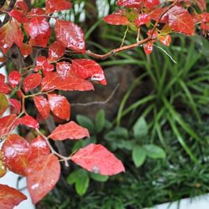 ナツハゼの紅葉