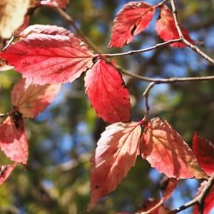 オトコヨウゾメの紅葉
