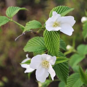 白山吹の花