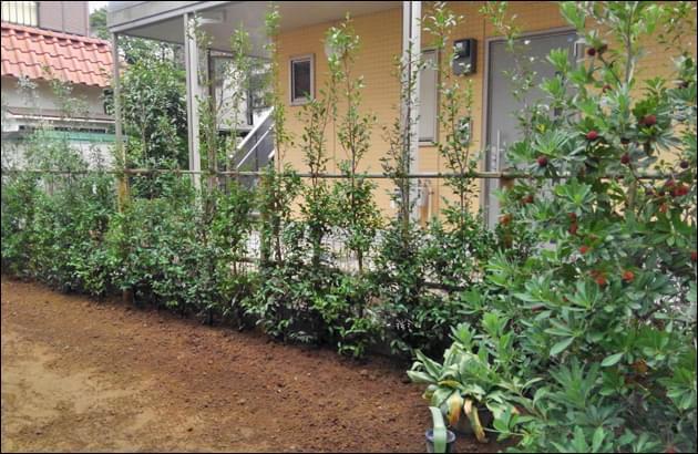 緑濃い景観を作る、寒椿の生垣