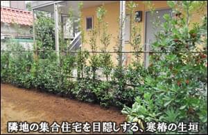 お隣のアパートを目隠しする寒椿の生垣-市川市F様邸