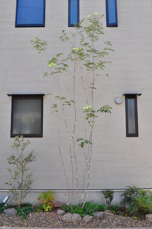 シンボルツリーとして植栽されたアオダモ